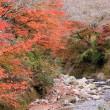 小原四季桜、8分咲きの現状、