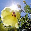 オオハマボウの花