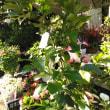 ハオルチア 花咲くチランジア再入荷!プリンセスダイアナクレマチスやご注文の品沢山配達です!