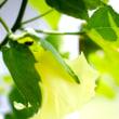 三河地棉の花が咲く