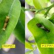 クロアゲハとナミアゲハの若齢幼虫比較