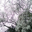 桜満開うさんぽ♪