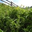 高ボッチ高原・鉢伏山で最近咲いている花 オオダイコンソウ(大大根草)