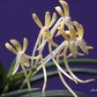 過去開花の富貴蘭「珠黄」の花