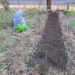 畑(不耕起・無肥料・無農薬で栽培する)の畝立て