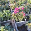 耐寒メラコ うぐいす 咲きましたよ! & オステオスペルマム & キンギョソウ