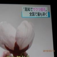 桜開花・高知で