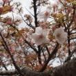 花のご縁【仁和寺】