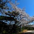 墓地駐の老いぼれ桜