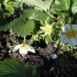 イチゴ定植 8株 12株で花が咲き実が出来だす