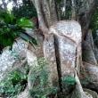 八重山諸島の本場、西表島(イリオモテシマ)