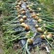 玉ねぎとニンニクの収穫