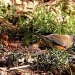 都市公園の鳥たち(アカハラ他)