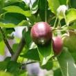 リンゴの実が大きくなった