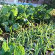 野菜ブーケのブロッコリーを収穫