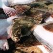 バルチック海の底魚漁獲枠が増加