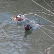 「オシドリ」のいる池②