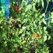 トマト収穫順調