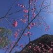 屏東の山地で桜フェス 台湾原住民ルカイ族の文化体験も
