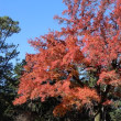 フウ(楓)の紅葉