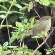 今日の鳥 ムギマキ コマドリ シロハラ モズ ウグイス 何とかムギマキ撮影出来ました、知り合いに感謝。