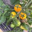ミニトマトの初収穫♪
