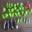 春野菜最後の収穫・・・
