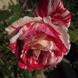 散歩で見たバラを載せました。