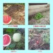 タマネギ播種