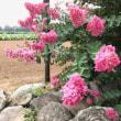 ピラミッド紫陽花・ブラックベリー・百日紅