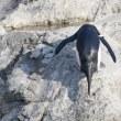 岩を跳ぶイワトビペンギン