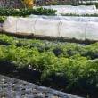 冬野菜の栽培、次第に増えるビニールトンネル…