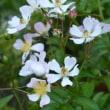 ツクシイバラの花が