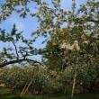 林檎の花 金沢市南部の果樹園