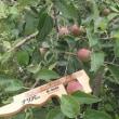 りんご探検隊ー実スグリー