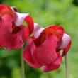 食虫植物の花(1)~サラセニア3種