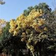 オウゴンガシワ黄葉