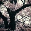 「街道・・」  854  (滋賀県 清水の桜)