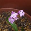 我が家で4月中旬以降に咲いていた花です。