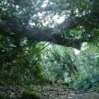 鋸山登山道の倒木