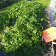 ジャガイモを掘る。