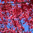 春 ヒガンザクラ