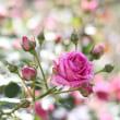 グリーンパークの薔薇、背景を脇役