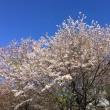 桜吹雪が綺麗です。