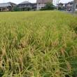 早くも稲の収穫。