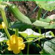 胡瓜のびのび~♪