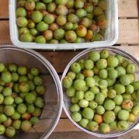 梅の実の熟す頃
