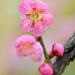 春色の道知辺・・梅(万博)