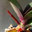 胡蝶蘭の花芽?