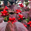秋の味覚 紅玉でリンゴクランブル🍎